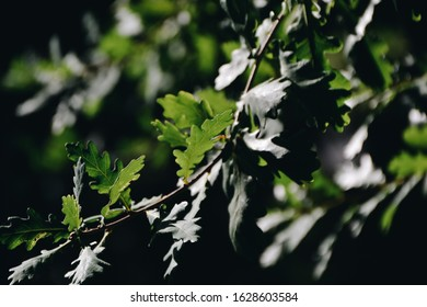Oak leaves and acorn, or oaknut