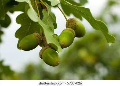 oak leaves and acorns