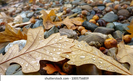 Oak leaves and acorns in autumn colors fallen onto gravel ground after rain. Droplets of water can be seen on textured leaves in the foreground.
