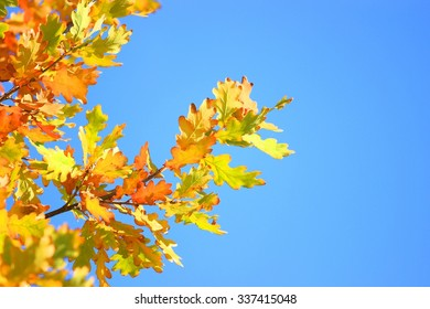 Oak leaves in autumn and blue sky in background