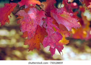 Oak leaves in autumn in red, nature