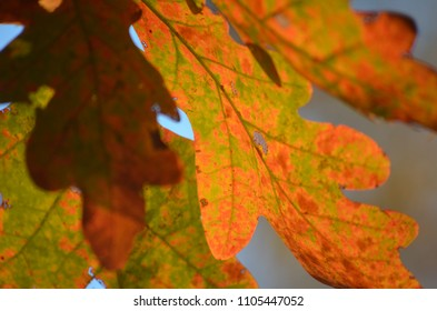 Oak leaves in fall, color study