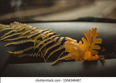 Oak leaves and fern placed on the dashboard of the car. Travel, explorer and autumn concept.