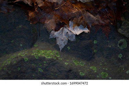 Oak leaves float in a puddle on a rock in the woods