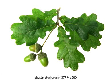 oak leaves - isolated