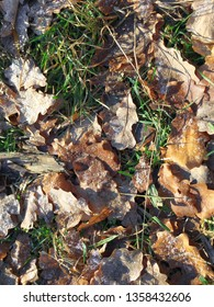 Oak leaves lie on the grass, covered with frost