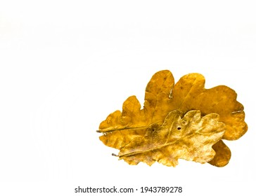 Oak leaves on a white background, autumn decoration. Herbarium.