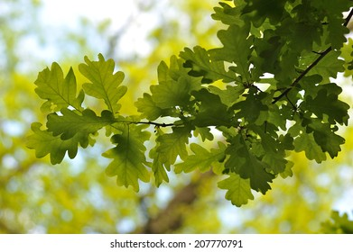 Oak leaves Quercus robur.
