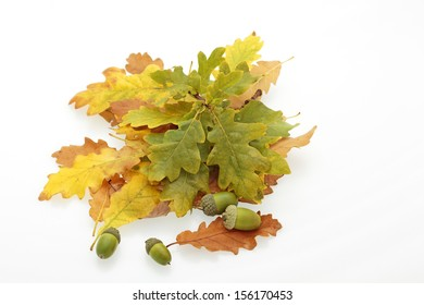 oak leaves in shades of brown, orange, yellow and green, and acorns on a white background