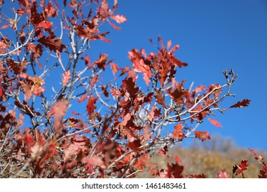Oak leaves shine in red late in October at the Wasatch Mountains of Utah.