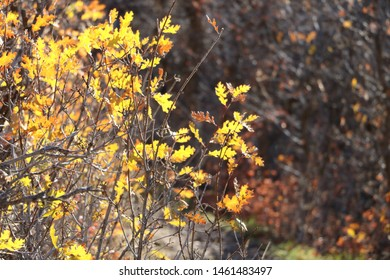 Oak leaves turn a bright yellow in fall at the foothills of the Wasatch Mountains near Draper, Utah