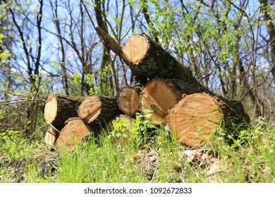 oak logs on green meadow in spring forest