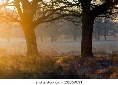 Oak in morning light in Dwingelderveld, the Netherlands
