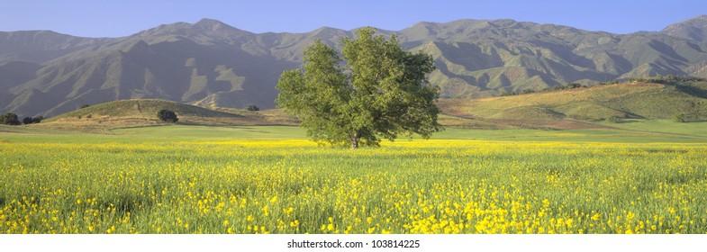 Oak and mustard in green field and Chief Peak, in Upper Ojai Valley, California