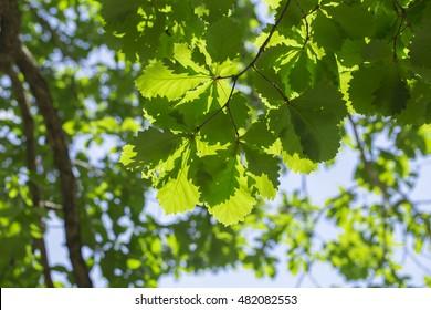 oak on the white background