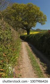 Oak over farm track