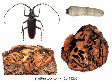 Oak pest. Great capricorn beetle (Cerambyx cerdo). Imago, larva and wood tree log damaged by them