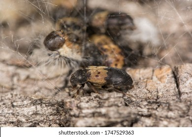 Oak processionary caterpillar being eaten by larder beetles (Dermestes lardarius) in Belgium