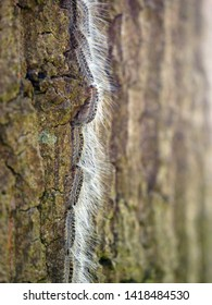 Oak processionary caterpillar in procession on a oak tree. Their long hairs are very visible in sunlight. This hairs aren't dangerous. The dangerous hairs are invisible.