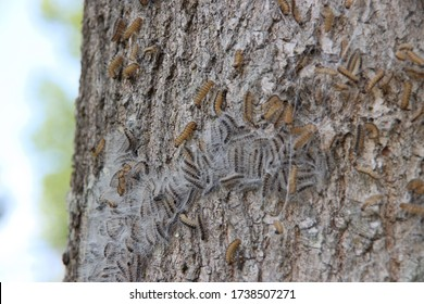 Oak processionary caterpillars in a tree where they form a nest in Nieuwerkerk aan den IJssel