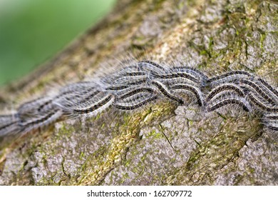 The Oak Processionary (Thaumetopoea processionea) caterpillars on the move on a tree in spring in the Netherlands.