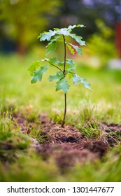 Oak sapling tree planted in soil