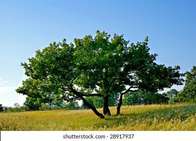 Oak in the sky