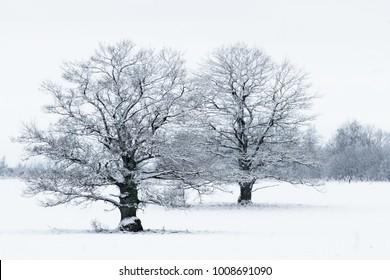 oak in snowy day