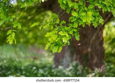 Oak in the spring in a field full of flowers