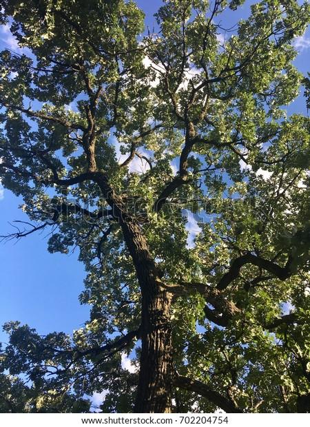 Oak tree against blue sky looking up