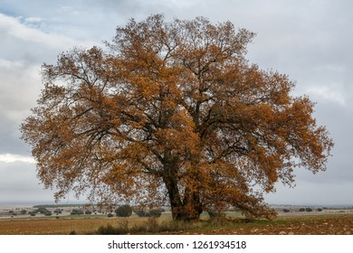 Oak tree in autumn with brown leaves. Quejigo. Quercus faginea.