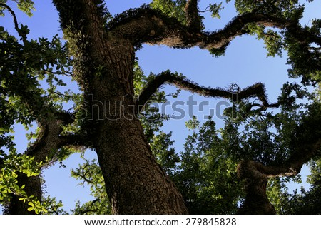 Oak Tree Branches Covered Moss Blue Stock Photo (Edit Now