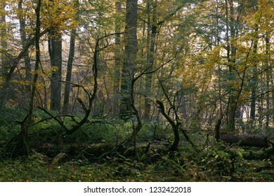 Oak tree broken lying over ground almost completly moss covered, Bialowieza Forest, Poland, Europe