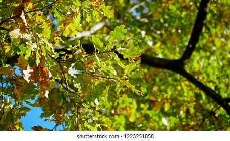 Oak Tree Canopy From Below