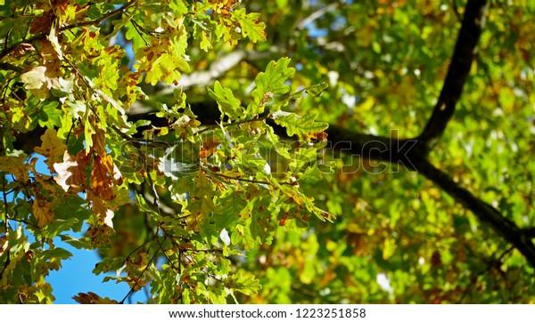 Oak Tree Canopy From Below