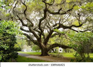 Oak Tree - Charleston South Carolina - Crooked Outdoor Background