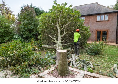 An oak tree in cut down in a garden near a house. The stump is in the foreground with ring in the wood. A lumberjack in hi-viz and helmet with a chain saw is cutting the branches.