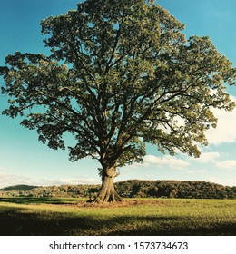 Oak tree England natural landscape