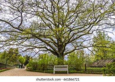 Oak tree in the estate of Pushkin, Pskov region, Russia