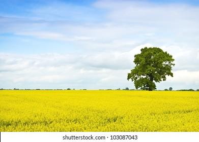 oak tree in field of rape