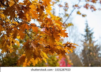 Oak tree with foliage getting ready to fall