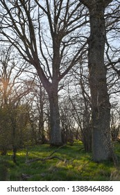 Oak tree forest in evening sunshine by early spring season