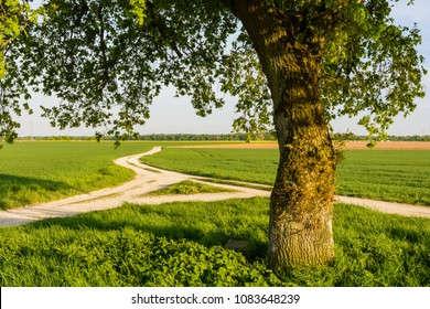 An oak tree at the fork of white dirt paths winding in the middle of crop fields in the french countryside at sunset.