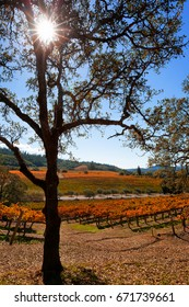 Oak tree frames view of an autumn California wine country vineyard landscape. Fall color and sun flare. Vertical