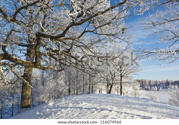 Oak tree with frost in winter landscape