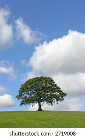 Oak tree in full leaf standing alone in a field in summer against a blue sky with cumulus clouds.