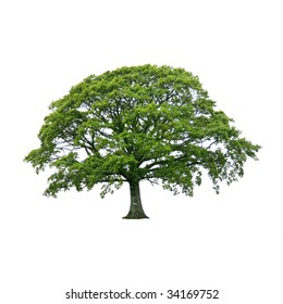Oak tree in full leaf in summer, isolated over white background.