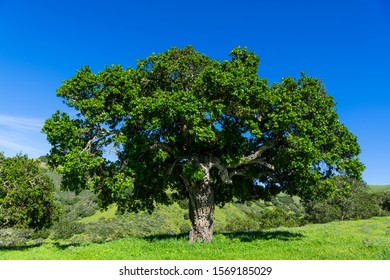 An oak tree in a green grassy meadow dotted with purple wildflowers  in Toro Park near Monterey, California, USA