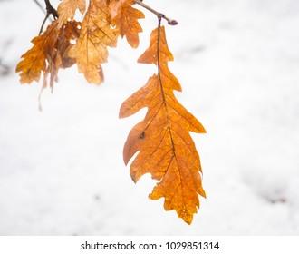 Oak tree leaf in autumn orange color towards bright white snow below