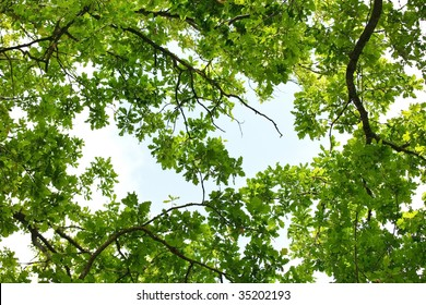 Oak tree leafage, worm's-eye view